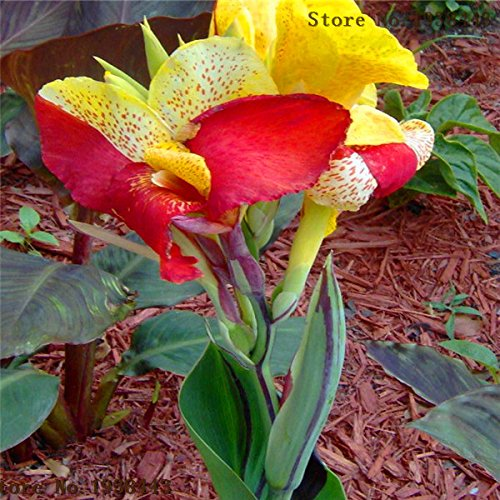 (Loss Promotion! Flower seeds Canna Lily Seeds - CLEOPATRA - Cannaceae - Great Potted Plant 10seeds - Arcis New)