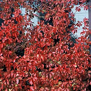 1 Starter Plant of Red Wall Virginia Creeper