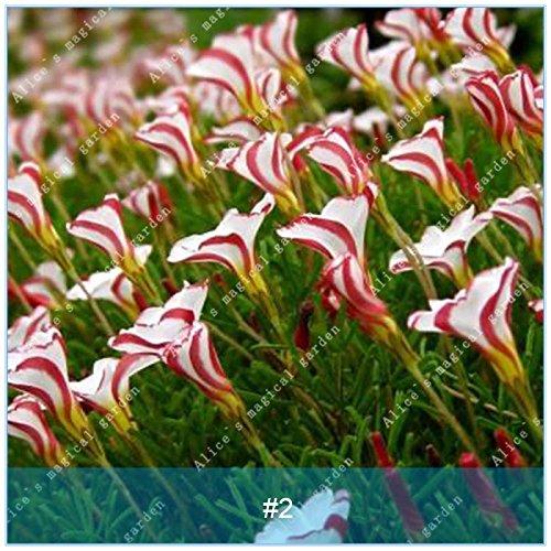 ZLKING 2pcs True Oxalis Flower Bulbs Rare Oxalis Versicolor Candy Cane Sorrel Flower Rotary Grass Pot Home Garden Plant Bonsai 2