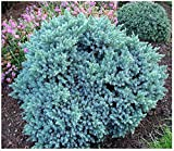 9cm Pot Dwarf Conifer Blue Star Juniperus Squamata Rockery Garden Shrub