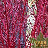 RED BARKED Dogwood Cornus Alba - 20 Seeds