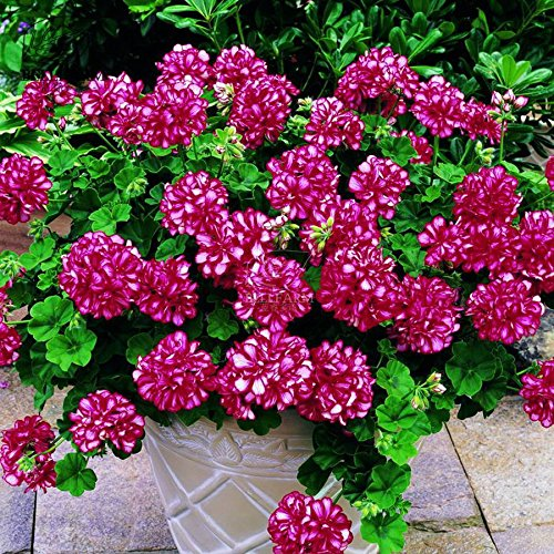 2018 Hot Sale!! Maslin Geranium 'Arctic Red' Red Violet Semidouble Petals White Stripes Big Blooms Flowers 10 Seeds Perennial Bonsai Garden
