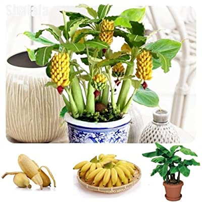 dSNAPoutof 100Pcs Dwarf Banana Tree Seeds, Mini Bonsai Fruit Exotic Home Garden Office Planting - Banana Seeds, : Garden & Outdoor