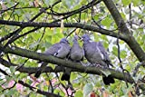 Peel-n-Stick Poster of Birds On A Branch Common Wood Pigeon Pigeons Columba Poster 24x16 Adhesive Sticker Poster Print