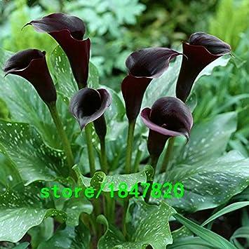 AIMADO Samen-50 St/ück Zephirblume Amerikanische Blumensamen mehrj/ährig einfaches Pflanzen geeignet f/ür Balkon Innen Outdoor Topf