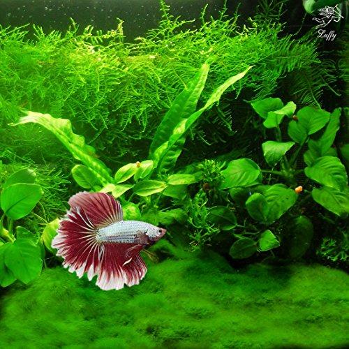 Betta Carpet by Luffy – Lush Green Landscape in Aquarium - Natural Habitat for Betta - Create a Moss Carpet - Thrive with Minimal Care