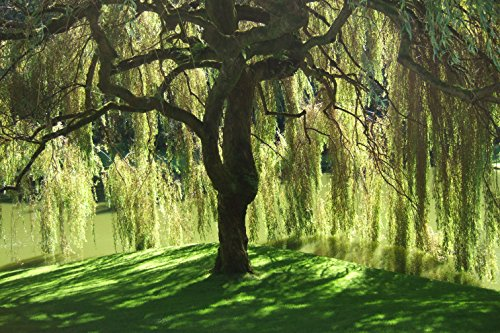 Weeping Willow Tree - Salix babylonica - Heavy - Established - Roots 1 Trade Gallon Pot - 1 Plant by Growers Solution