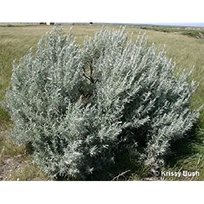 100 Silver Sagebrush Artemisia Ludoviciana Herb Flower Seeds : Garden & Outdoor