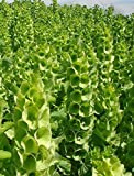 Green Moluccella Laevis (Bells-of-Ireland / Shell Flower) Good Luck Flower 200 Seeds