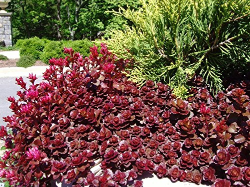 Dragon's Blood Sedum - Stonecrop - Rooted Perennial 1 Quart Pot - 1 Plant