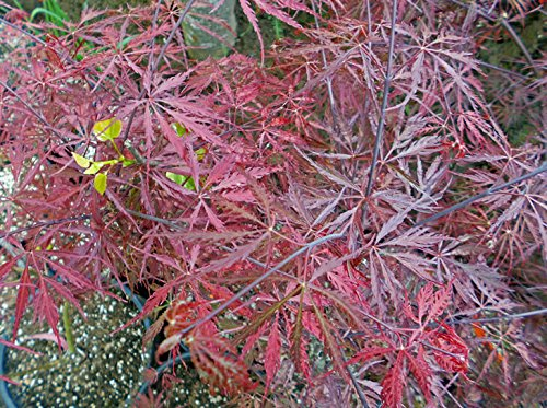 Japanese Maple 'Inaba Shidare' - Weeping red laceleaf. 3-4' tall live plant. by lebeaubamboonursery (Image #1)