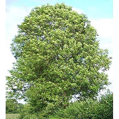 HIGH Germination Seeds:100 Seeds : Ash Tree Seeds, Fraxinus Excelsior