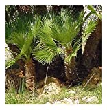 Chamaerops humilis - Dwarf Fan Palm - 5 Seeds