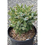 4 Year PLANT of Picea Omorika Kamenz