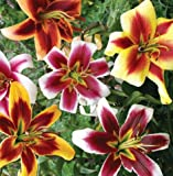 Gigantic Size Flower Giant Hybrid Mixed Colors Lily Flowering Bulb, Plant, Start, Root