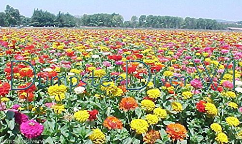 State Fair Giant Mix Zinnia 40+ Exhibition Cut Type Huge Flowers Take the Prize