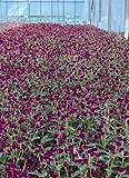 Gomphrena Globosa Qis Series Purple Annual Seeds