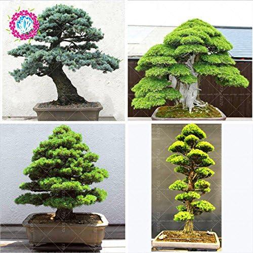 10pcs / semillas de árboles raros bolsa para el hogar bonsai orgánica roja cedro japonés Semillas de hoja perenne deodara madera semillas en macetas de interior: Amazon.es: Jardín