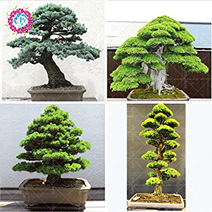 10pcs / semillas de árboles raros bolsa para el hogar bonsai orgánica roja cedro japonés Semillas