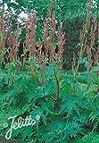 Rheum Palmatum Tanguticum Seeds