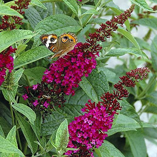 Ideal Butterfly Bush: How To Select, Care For And Control The Buddleia OV76