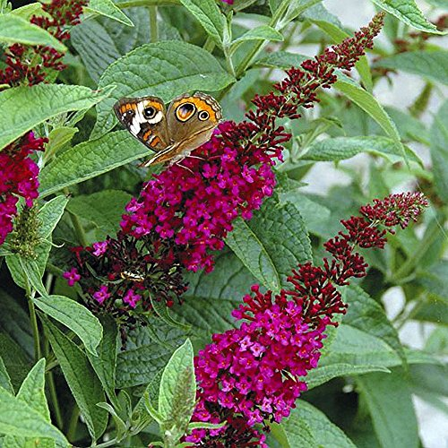 Buddleia Butterfly Bush - Buddleia x Miss Molly Butterfly Bush - Sangria Red -Proven Winners- 4