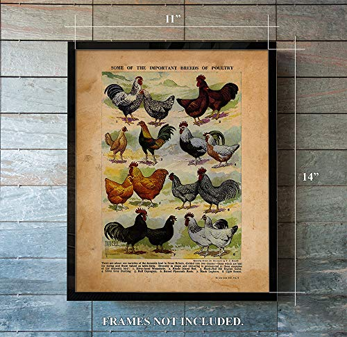 - Important Breeds of Poultry - Vintage Farm Animal Print - Unique Wall Art of a Classic Image - Perfect Gift for Everyone who Keeps Chickens