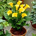 Onbio Flowers Seeds 100Pcs/Bag Calla Lily Seeds Rare Flower Seeds Bonsai Potted Plant Perennial Flowers