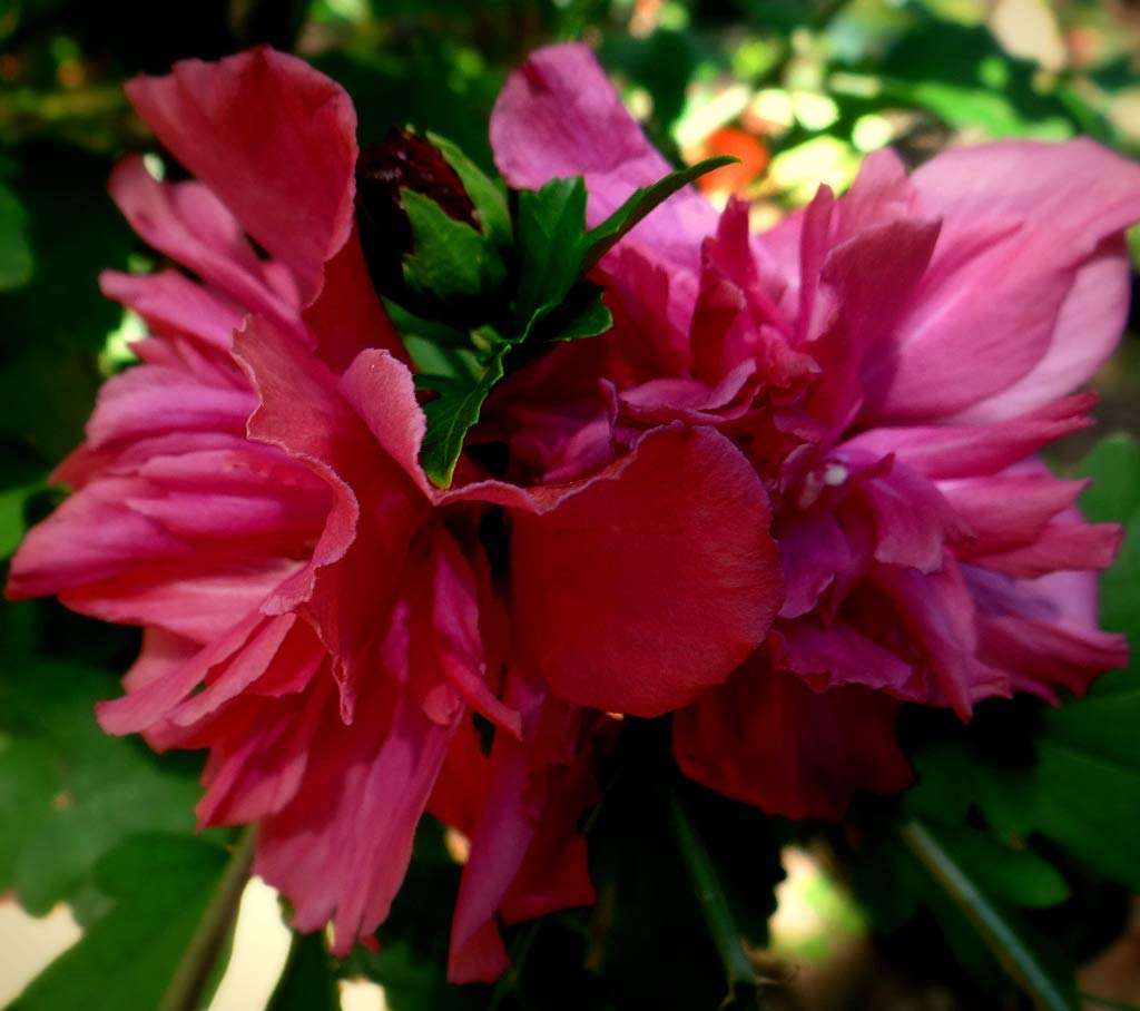 3 Double Red Flowers Althea Rose of Sharon Purple Pink Hibiscus Bush Live Plant