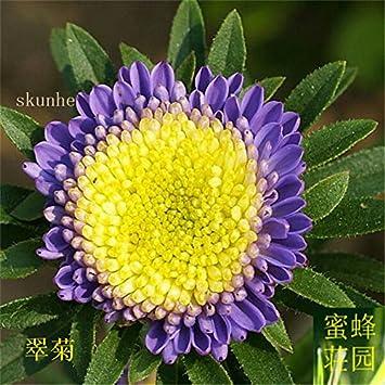 Aster graines de graines de fleurs de vanille Variété de la cire ...