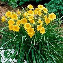 25 Bareroot Stella D'Oros Daylilies--1-2 fan
