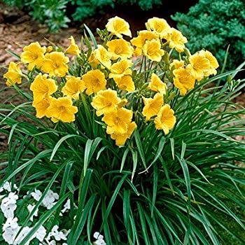 Image result for daylily stella