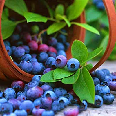 Countia Garden, 30pcs Blueberry Seeds Perennial Bonsai Mini Fruit Plant Seeds Blueberry Tree Seeds Potted Plant for Home Garden : Garden & Outdoor