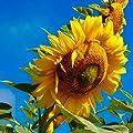 Organic Russian Mammoth Sunflower Seeds: Non-GMO, Certified Organic Heirloom Seed Packet