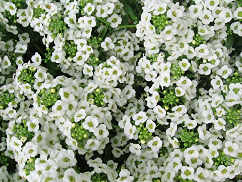 Alyssum Carpet of Snow Nice Garden Flower by Seed Kingdom Bulk 40,000 Seeds (Sweet Alyssum Seeds)