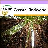 SAFLAX - Coastal Redwood - 50 seeds - Sequoia sempervirens