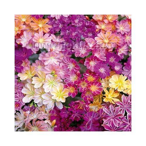 Outsidepride Lewisia Rainbow Mix - 50 Seeds