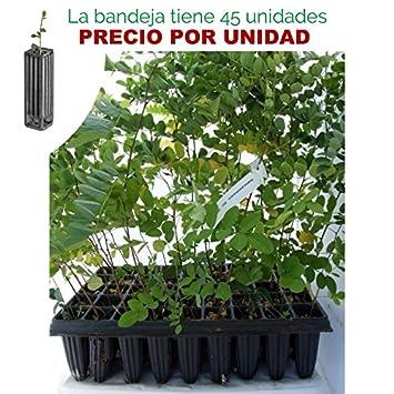 Robinia pseudoacacia - Falsa acacia