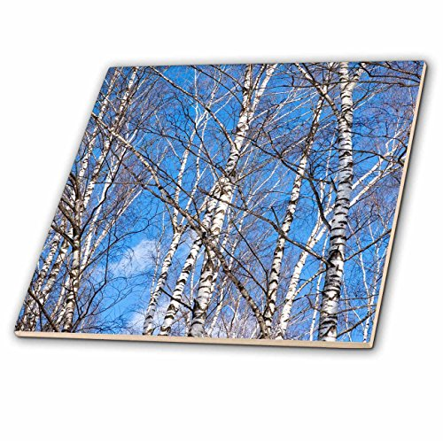 3dRose Alexis Photography - Seasons Spring - Birch trees on a sunny day in early spring. Blue sky - 6 Inch Glass Tile (ct_283844_6)
