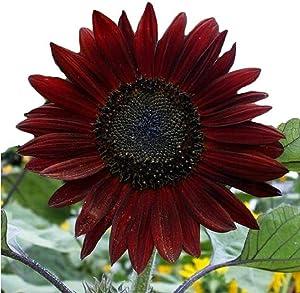 Cherry Chocolate Sunflower Seeds - Stunning Variety - Open Pollinated 60 Seeds