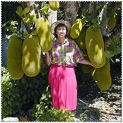 shopmeeko hot 5 pcs Japan Fresh Jackfruit Plants Giant Trees Miracle Fruit Seeds Garden Seeds Pot Big Flowering Plant: Mixed : Garden & Outdoor
