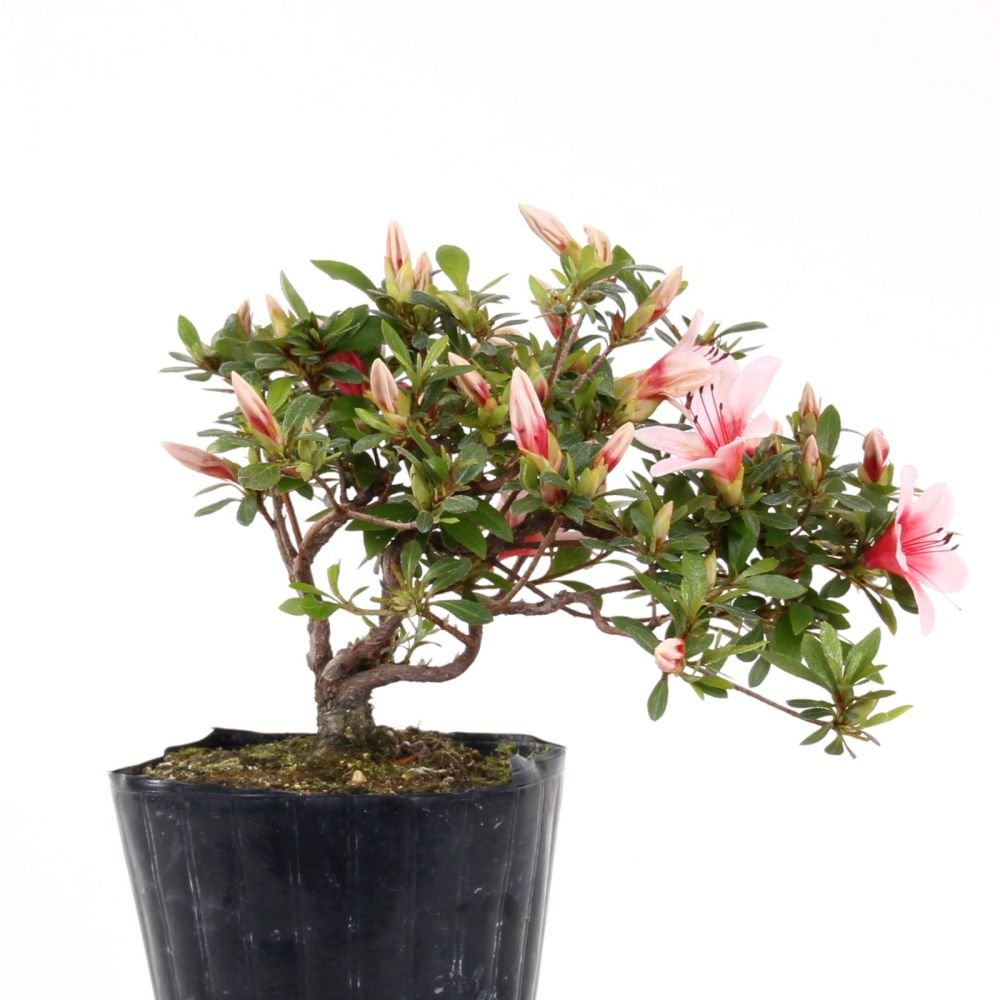 Bonsai - Jap. Satsuki Azalee 'Hi-no-Maru', Rhododendron indicum 183/68