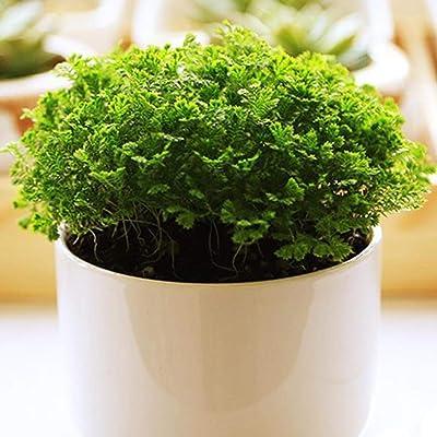 KOUYE GardenSeeds- Rare Lion Plant Seeds (Selaginella Uncinata) Herbal Plants Seeds Bonsai Plants Hardy Perennial houseplants for Patio/Balcony/Garden : Garden & Outdoor