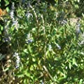 30 Seeds of Perennial Salvia Guarantica - 'Sapphire Blue'. Anise Scented Sage!