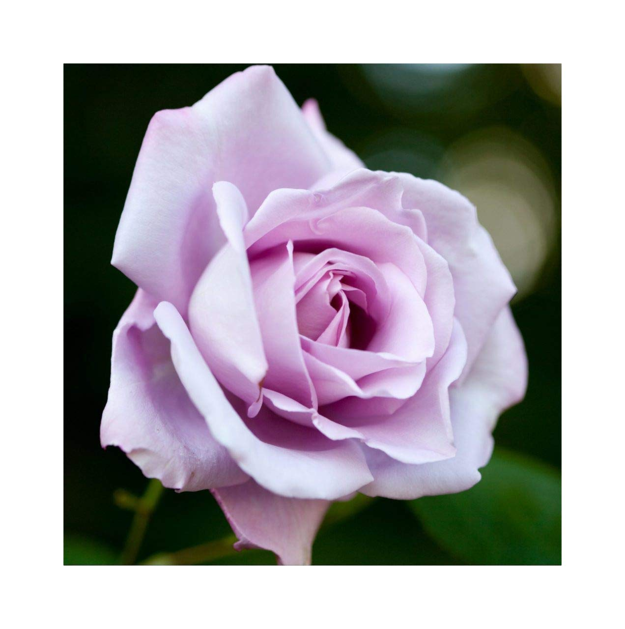 Rose Bare Root Plant 'Blue Moon' Hybrid Tea Blue/Lilac Highly Scented by Plug Plants Express Limited