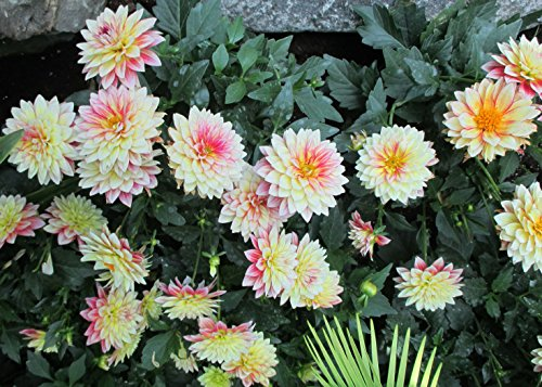 Dahlia is a genus of herbaceous perennial plants .