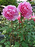 TREE PEONY - SILKY LIGHT PINK FLOWERS ARE 6 INCHES WHEN MATURE- Paeonia suffruticosa 2 - YEAR PLANT
