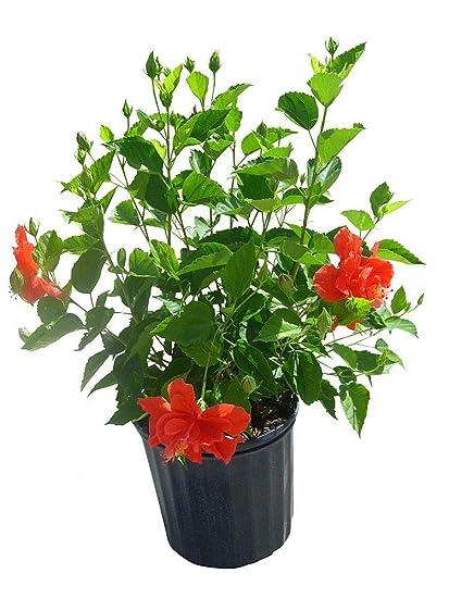 Amazoncom Plantvine Hibiscus Rosa Sinensis Double Red Tropical