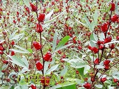 Jamaican Sorrel Seeds, AKA Florida Cranberry ,Indian Roselle,Hibiscus sabdariffa