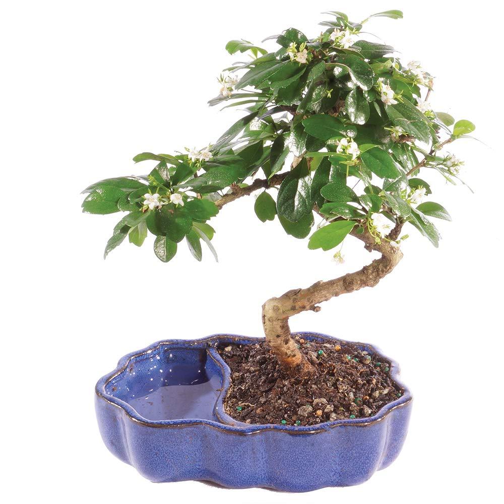 Brussel's Bonsai Live Fukien Tea Indoor Bonsai Tree in Zen Reflections Pot-4 Years Old; 8'' to 10'' Tall